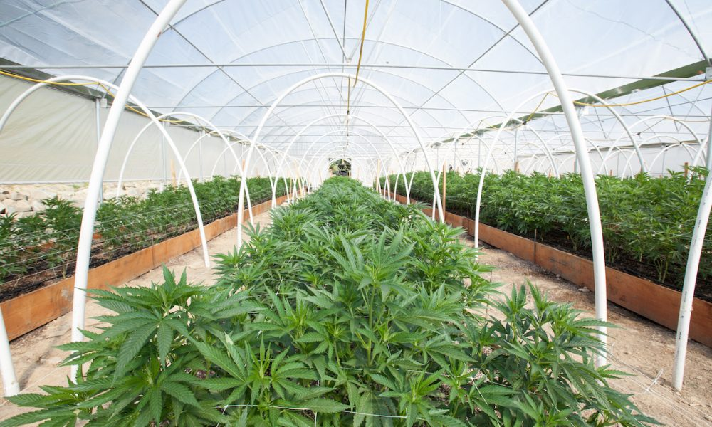 Deregulating cannabis gives UK opportunity after Covid-19