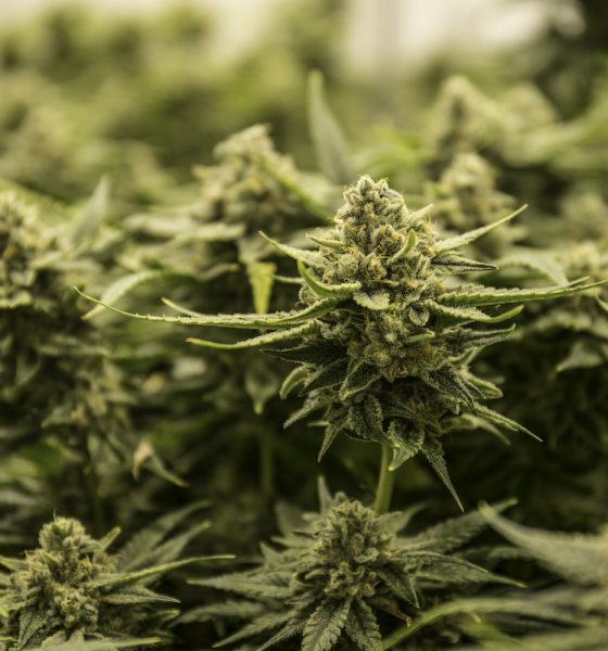 High-THC cannabis cultivation licences now available in Guernsey