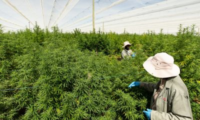 """Highlands complete one of """"largest legal shipments"""" of cannabis to Europe"""