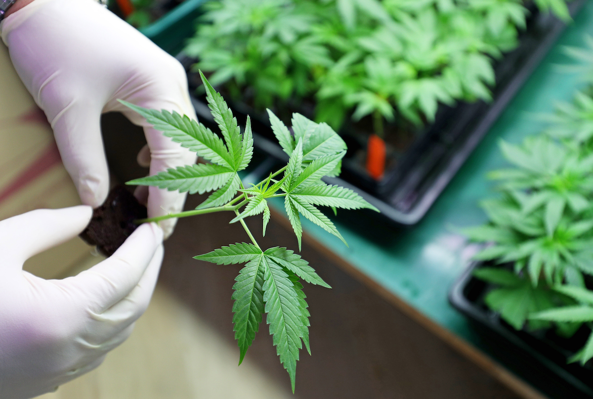 Guernsey receives seven applications for high-THC cultivation licences