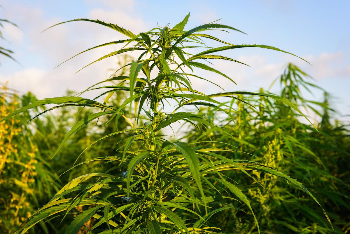 Grow Group and Sanoid Isolates: a cannabis pan-European logistics hub