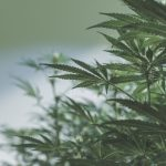 High THC cannabis cultivation licence issued to Hilltop Leaf